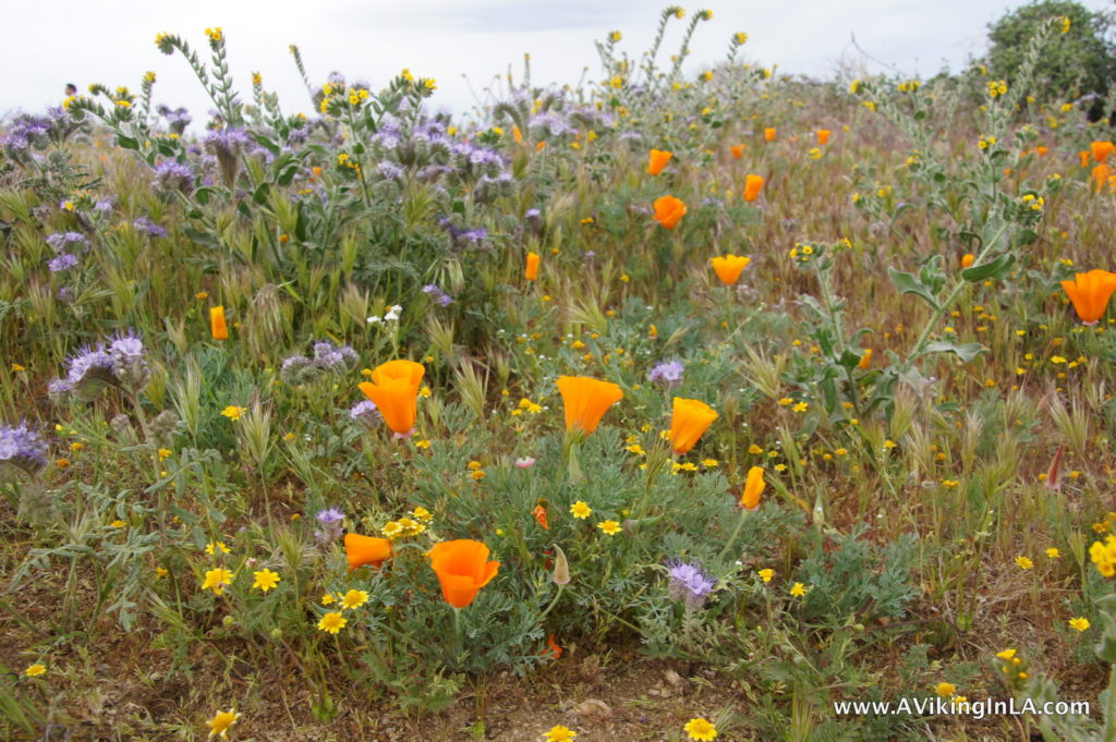 poppies and other wildflowers
